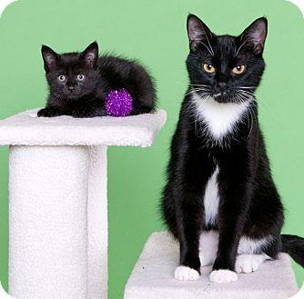 Chicago Il Domestic Shorthair Meet Ciao Bella Kitten Adoption Pets Pet Adoption