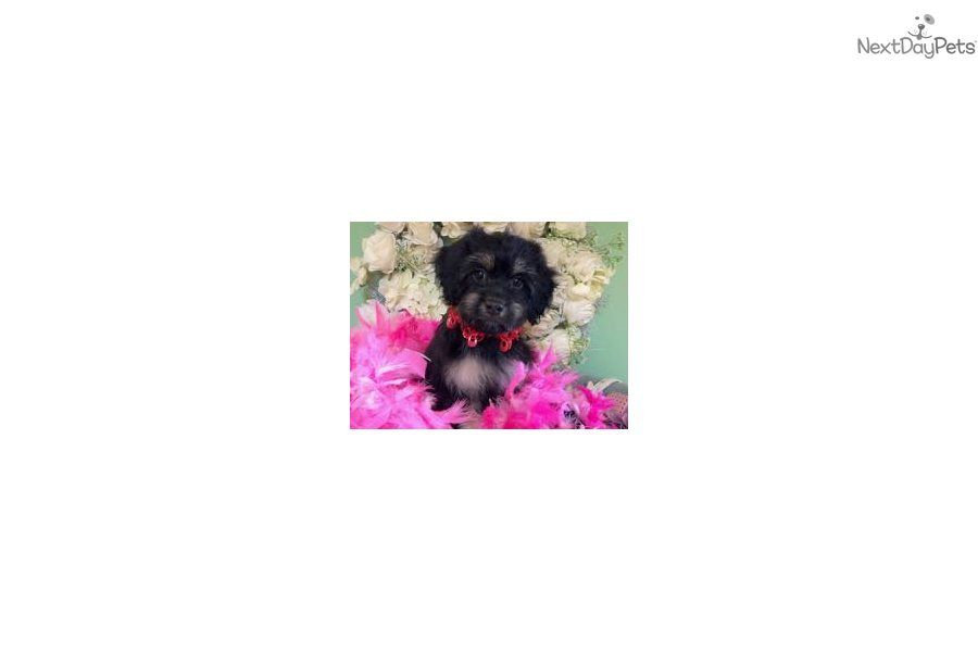Lola Cavapoo Puppy For Sale Near Jacksonville Florida 97ad7abf