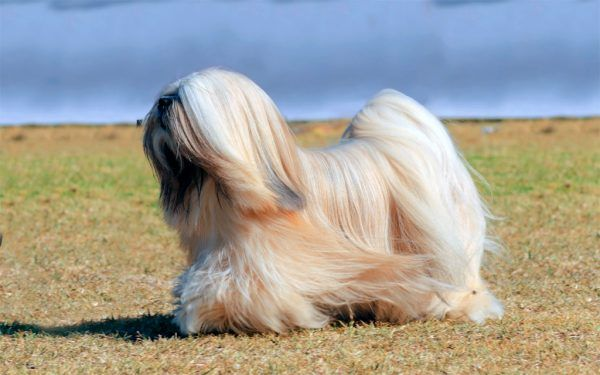 Razas De Perros Pequeños De Pelo Largo Aperradoscom Perritos