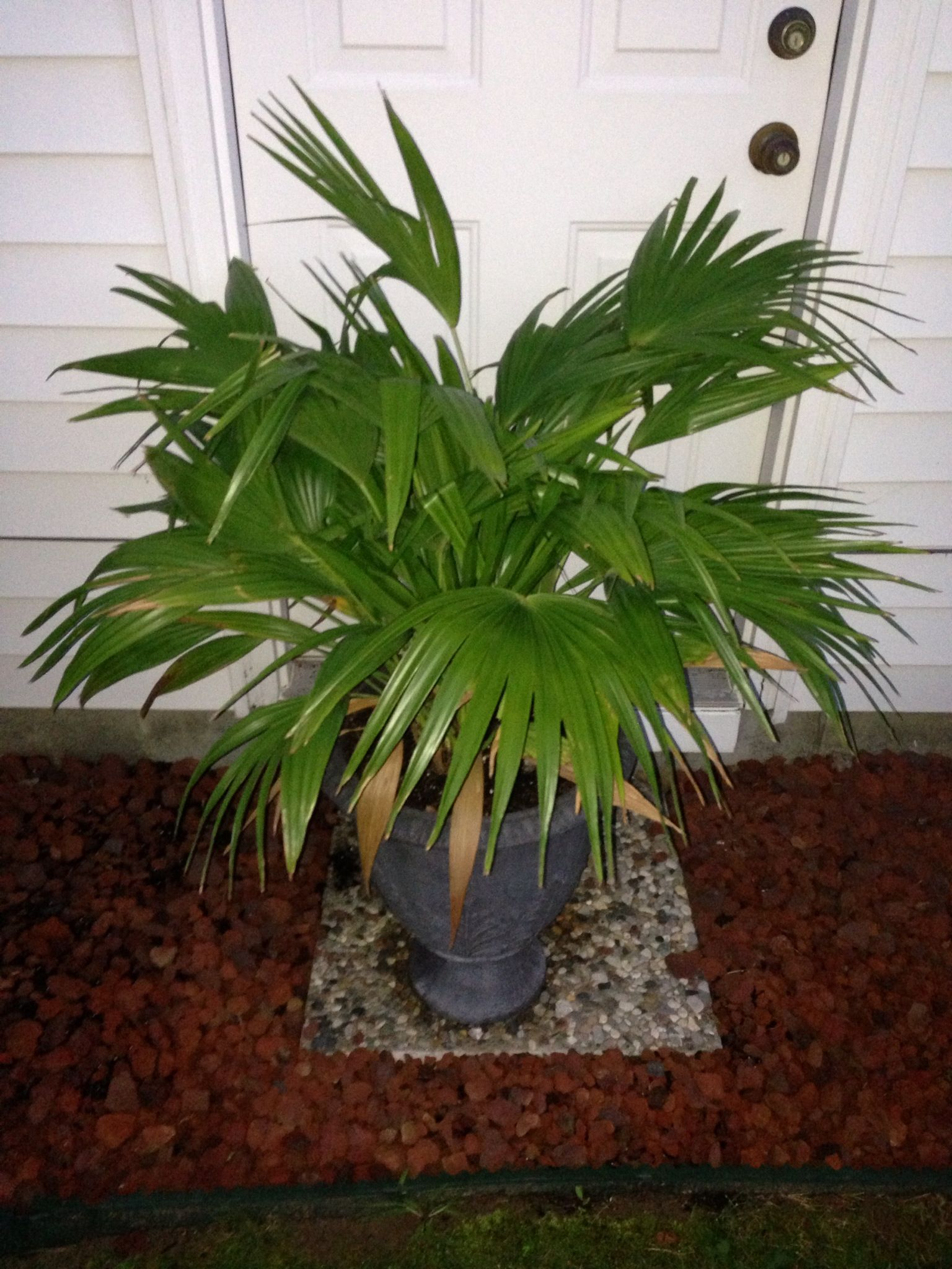 Areca Palm Poisonous
