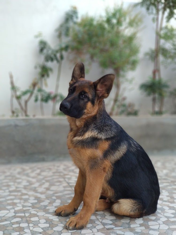The German Shepherd Germanshepherd German Sheperd Dogs Puppies