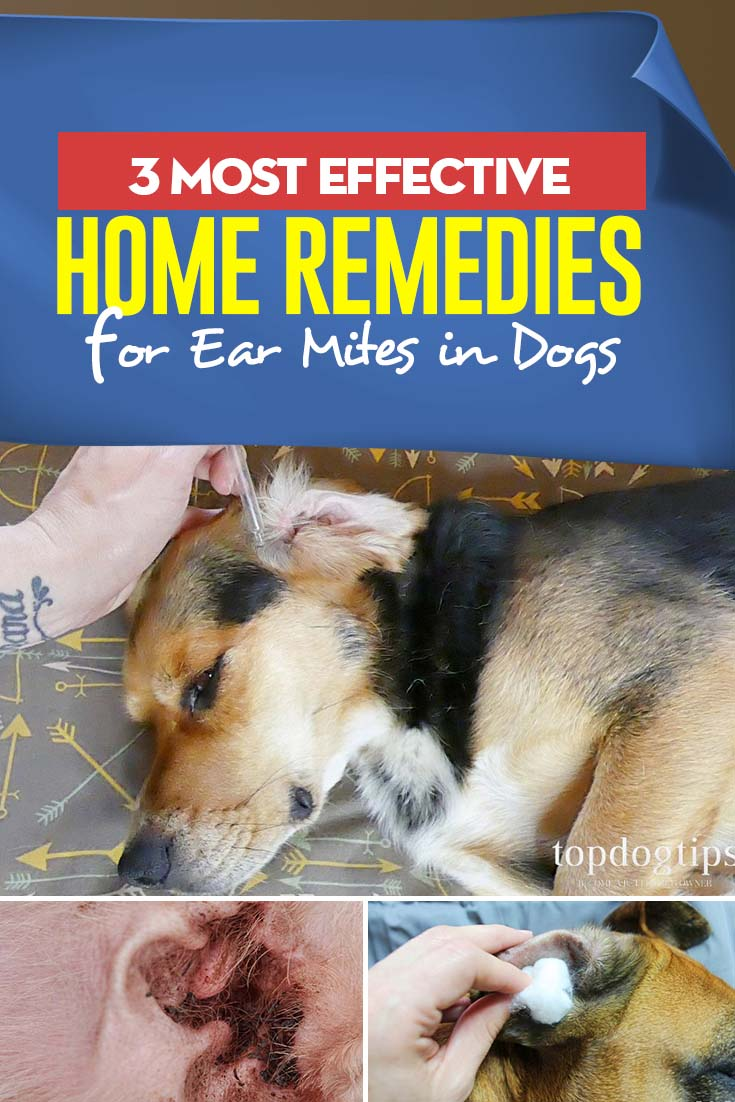 3 Effective Home Remedies for Ear Mites in Dogs Dogs