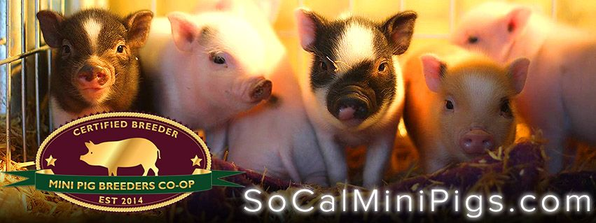 Teacup Micro Mini Pigs For Sale In Southern California Socialized And Potty Trained Mini Pigs For Sale Pigs For Sale Mini Pigs