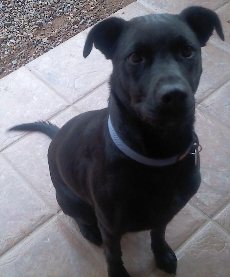 Adopt Koal On Black Labrador Retriever Adoption Animal Shelter