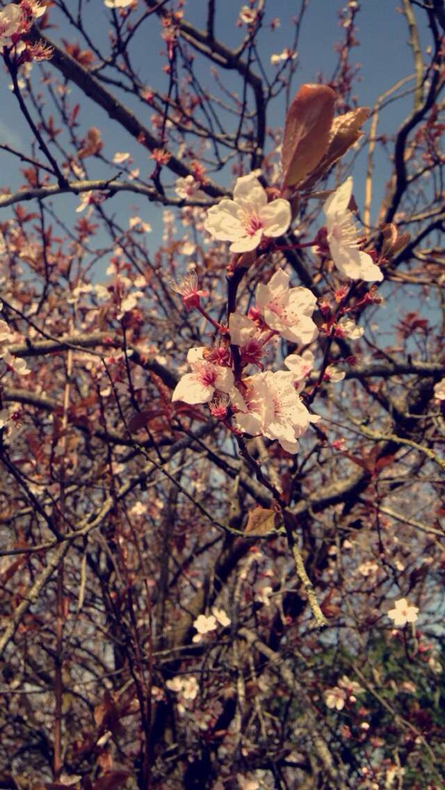Blossom tree... Picture taken by me
