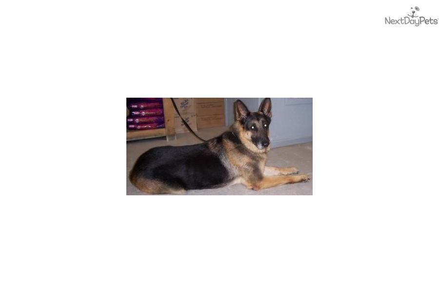 Meet Shepherd A Cute German Shepherd Puppy For Sale For 700