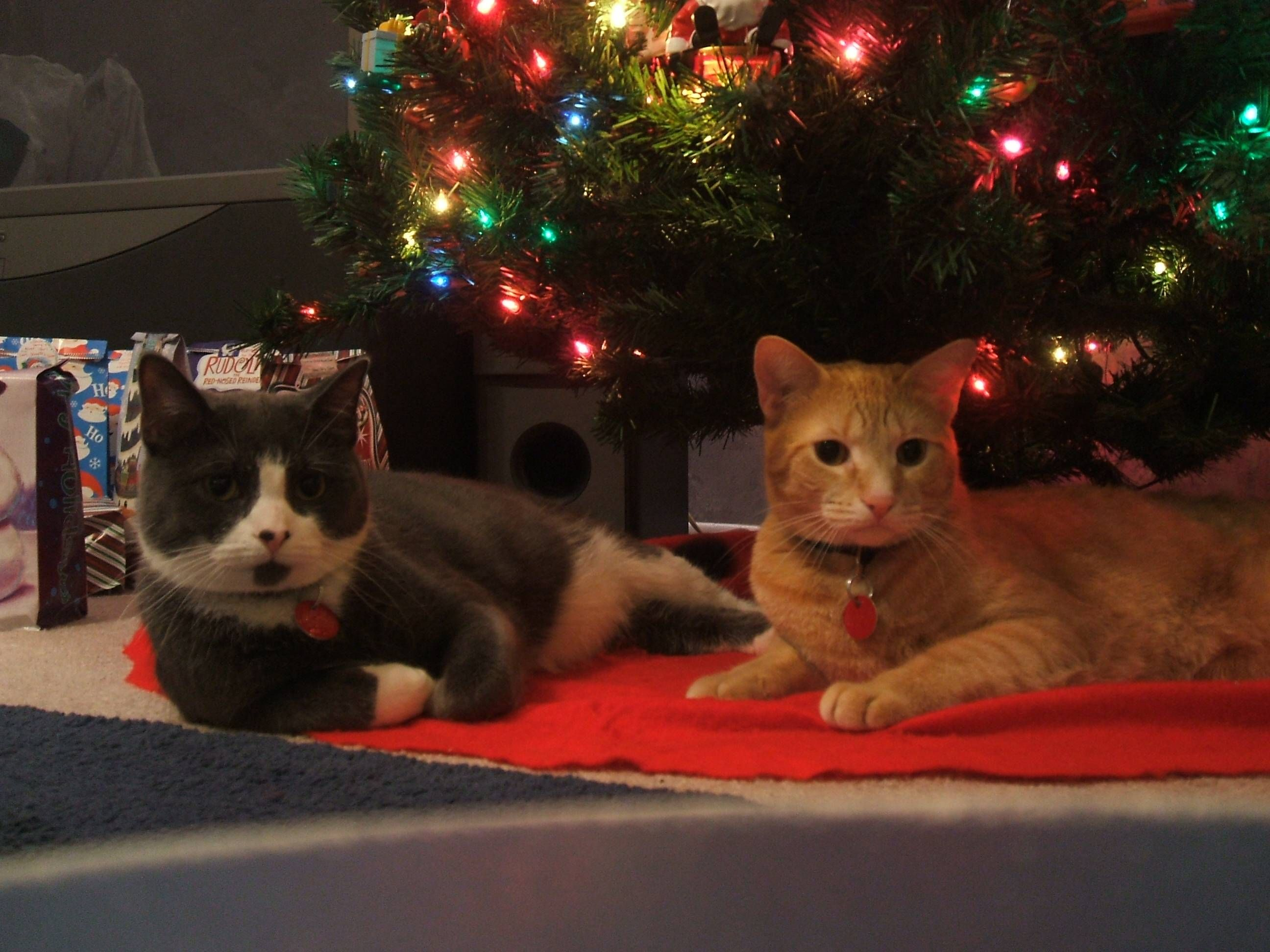The Boys Tuxx And Bells Acting Like Sirs Cute Cats Cute Cats Feline Christmas Animals