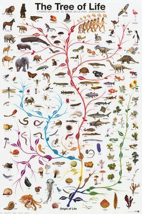 Tree Of Life Amoeba To Man Evolution Poster 24x36 Tree Of Life