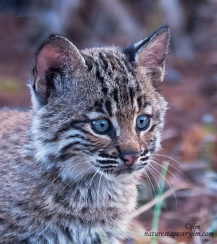 Baby-Bobcat--Portrait