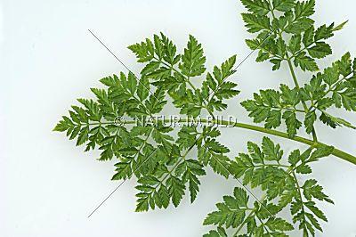Bild: Schierling, Gefleckter, Conium maculatum | ΩΦΥ ...