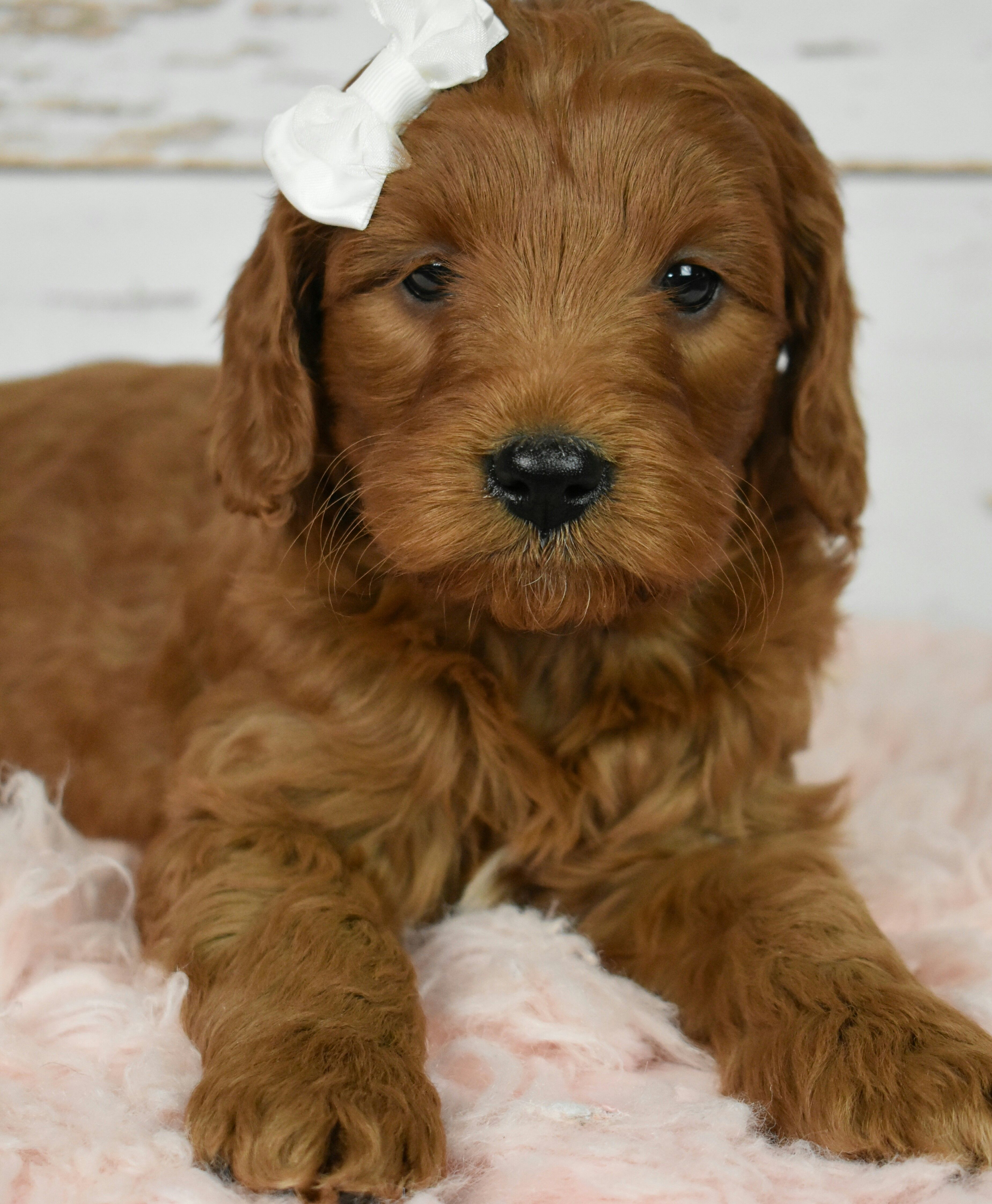 Puppies For Sale Goldendoodle Puppy Mini Goldendoodle Puppies