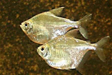 Other Spotted Silver Dollar Metynnis Roosevelti Silver Dollar Aquatic Ecosystem Aquarium Maintenance