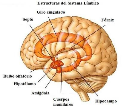 Brain anatomy limbic system google search craniosacral hormesis and the limbic brain ccuart Gallery