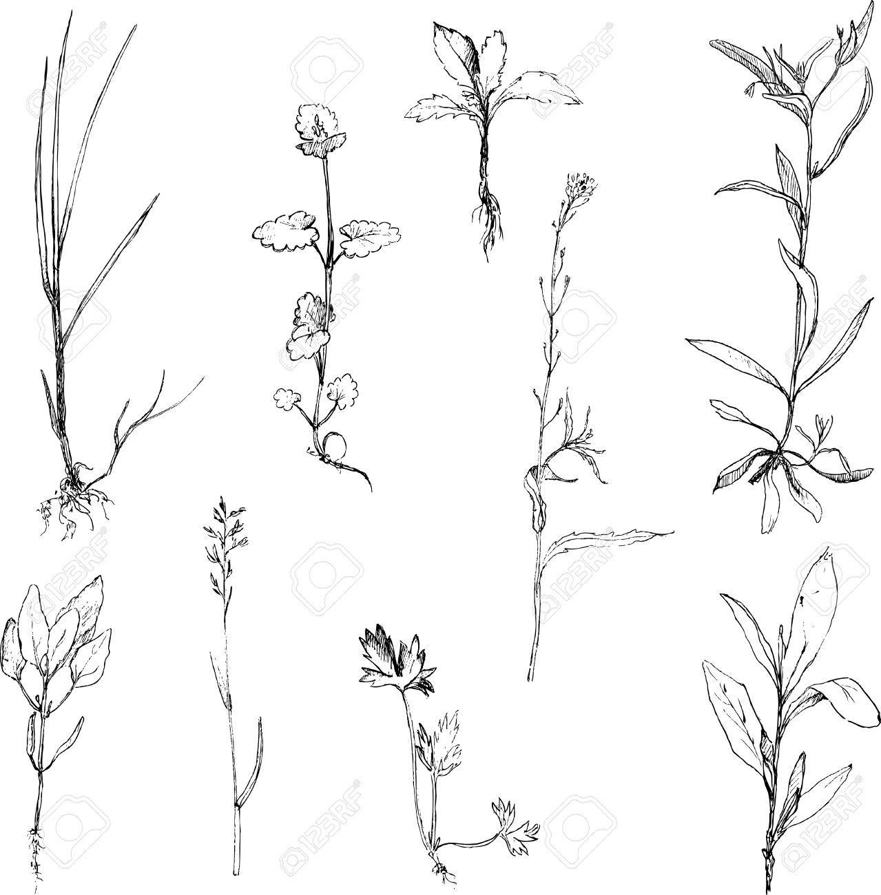 vintage plant illustration - Google zoeken | plants sketch ...