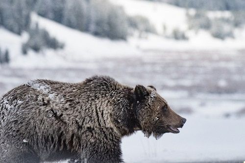 Yellowstone Grizzly Profile | OutdoorsConnected.com