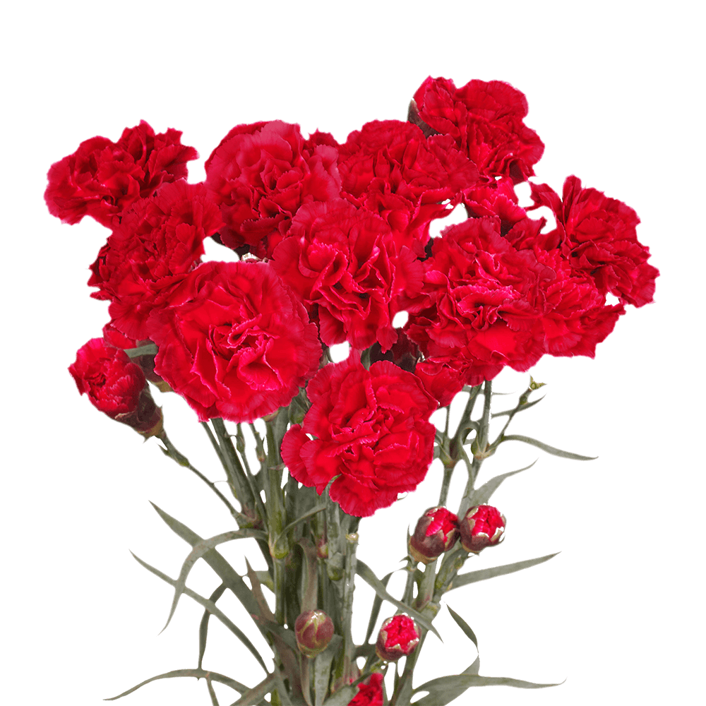 Beautiful Red Spray Carnations Delivery Cheap Price In 2020 Carnations Mini Carnations Flowers