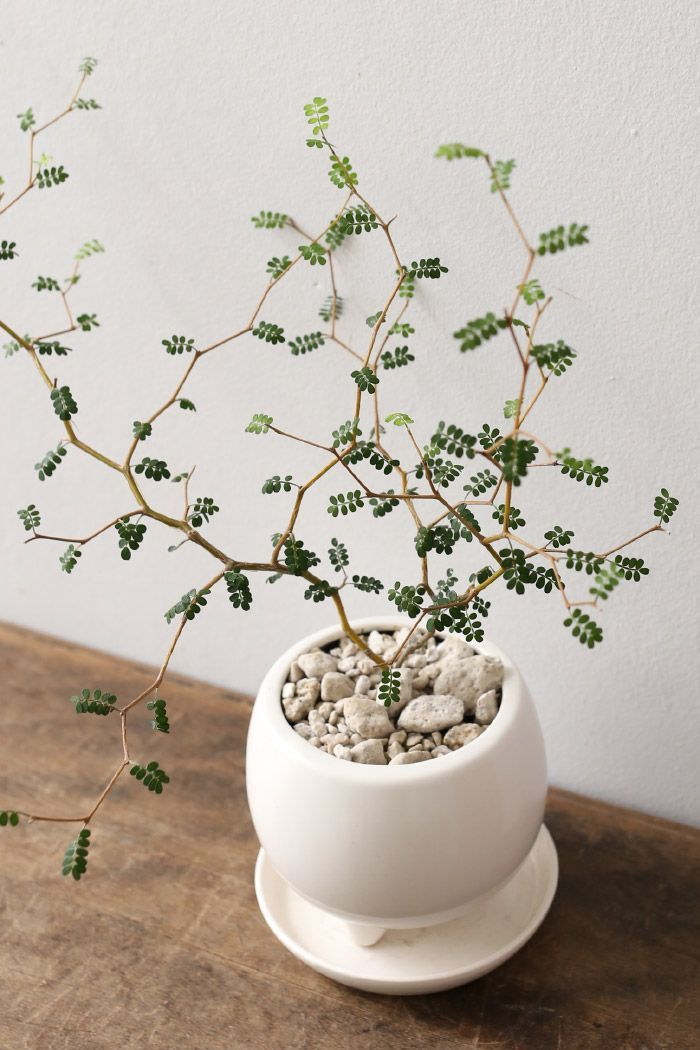 Sophora microphylla Auch für den Topf und die Kieselsteine.  #flowers #blumendeko #beautifulflowers #blumen #flowersbouquet #blumenstrauß #flowersgarden #プレゼント
