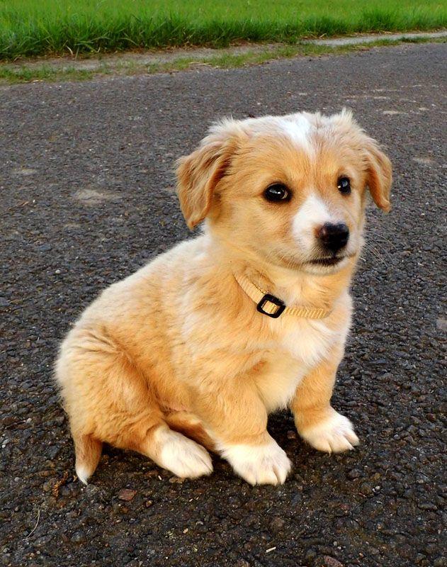 Leonard Lenny Chihuahua Cocker Spaniel Spitz Welsh Corgi Mischling Mix Hund Chihuahua Welpen Mischlinge Babyhunde