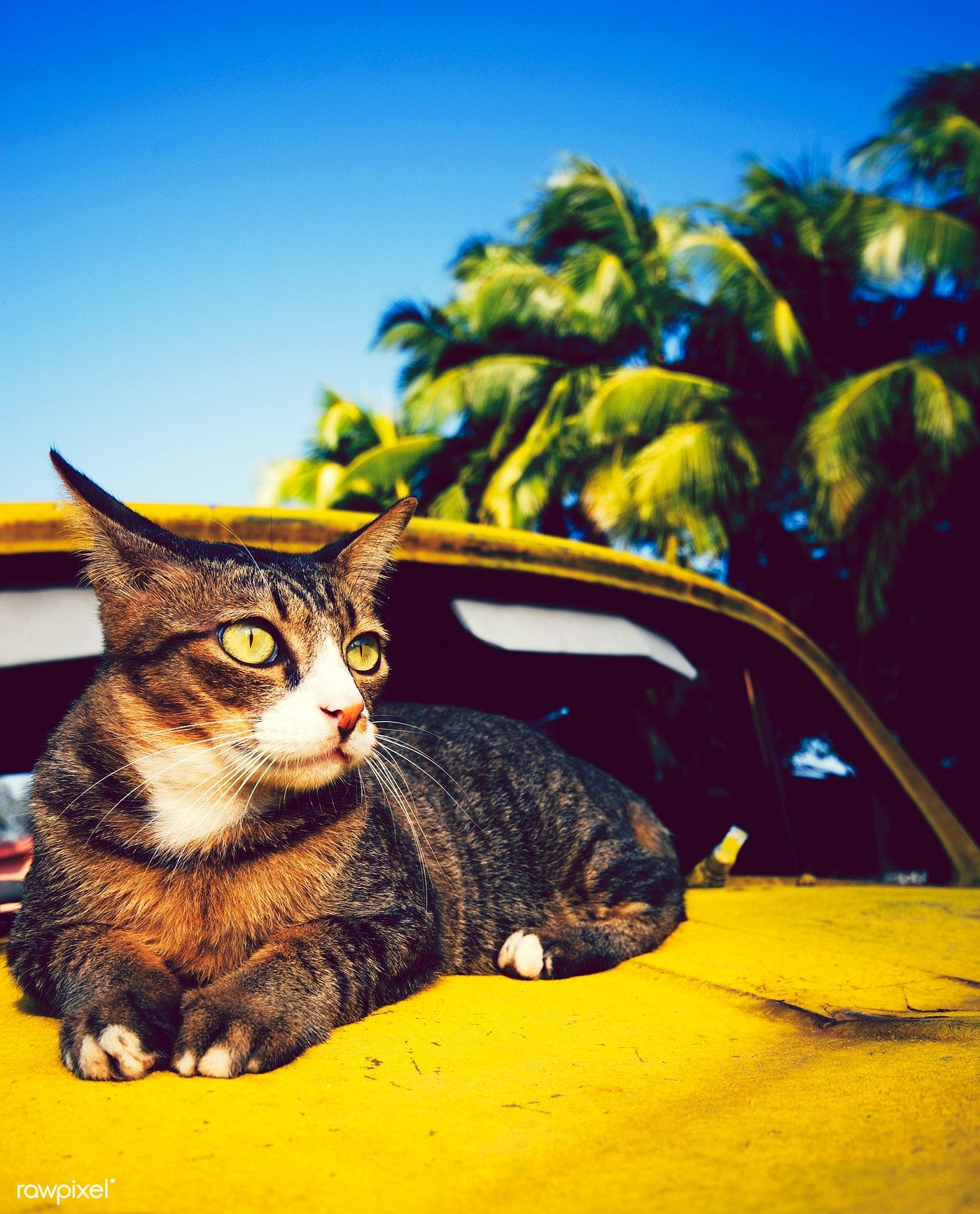 Download premium image of Cat relaxing on an old classic car 423437