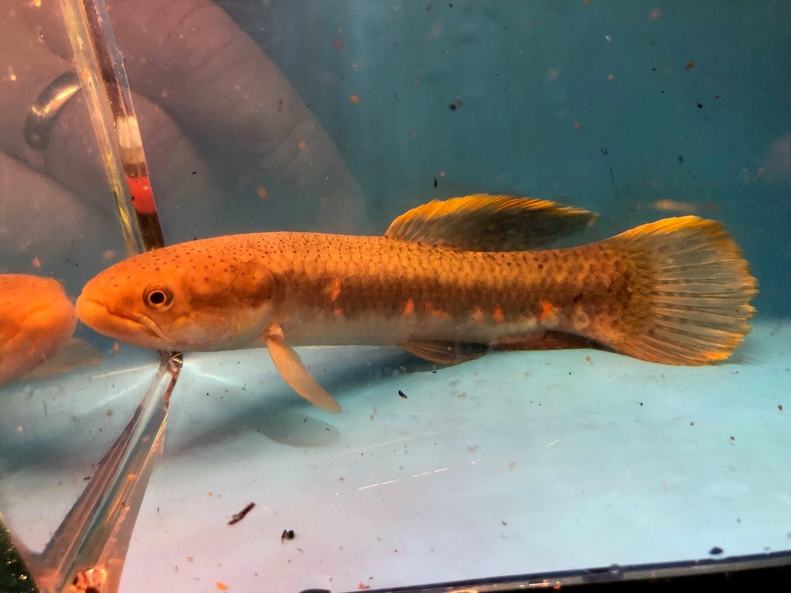 Red Spot Wolf Fish