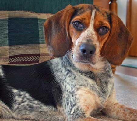 Beagle Blue Tick Hound Mix Blue Tick Beagle Beagle Dogs