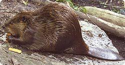 American Beaver - National Zoo| FONZ