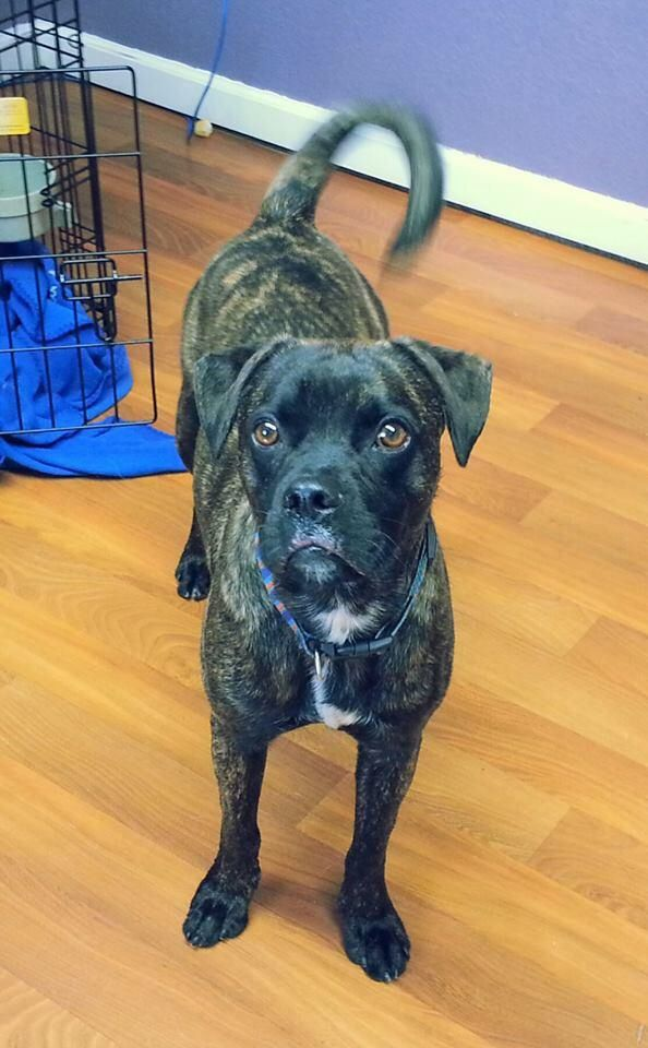 Urgent Adam Is In Danger Of Being Euthanized At Any Time