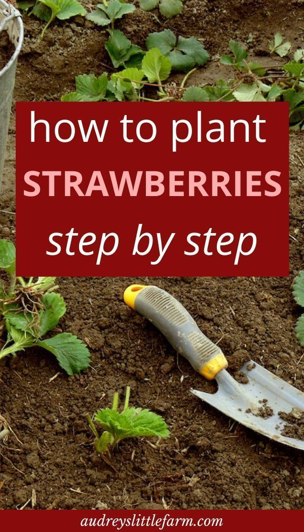 How to Plant Strawberries is part of Strawberry plants, Strawberry garden, Vegetable garden design, Fruit garden, Plants, Food garden - Learn everything about how to plant strawberries here  From picking out varieties, preparing the soil, planting, watering, harvesting, and