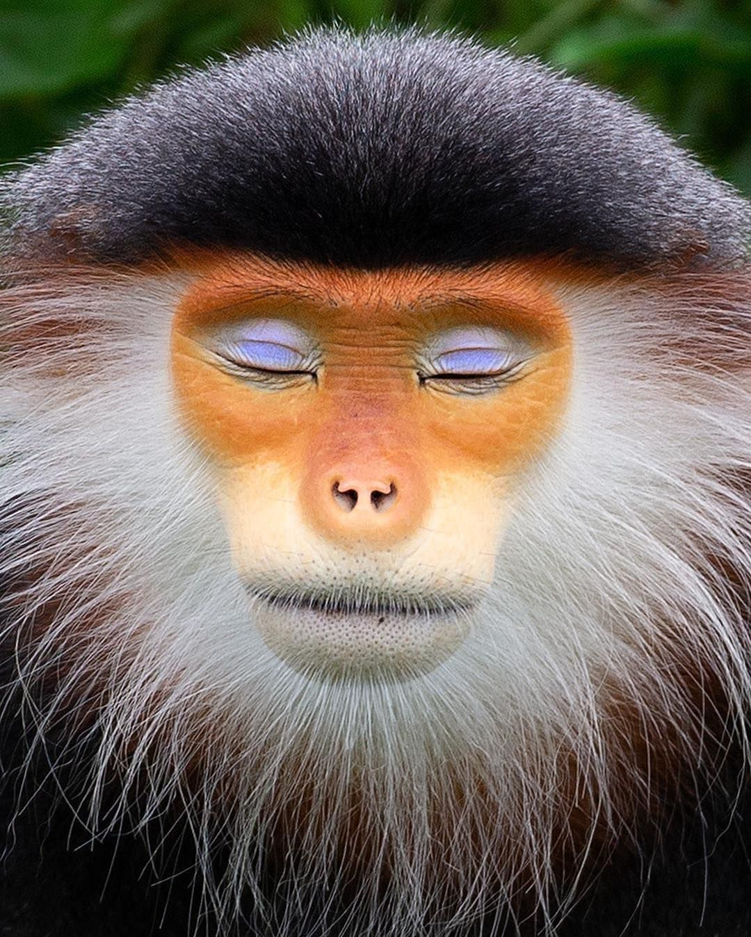 hen your eye shadow's on point! This is the red shanked douc monkey, so  peaceful they're almost zen like. #Vietnam P… | Animals, Wildlife animals,  Animals beautiful