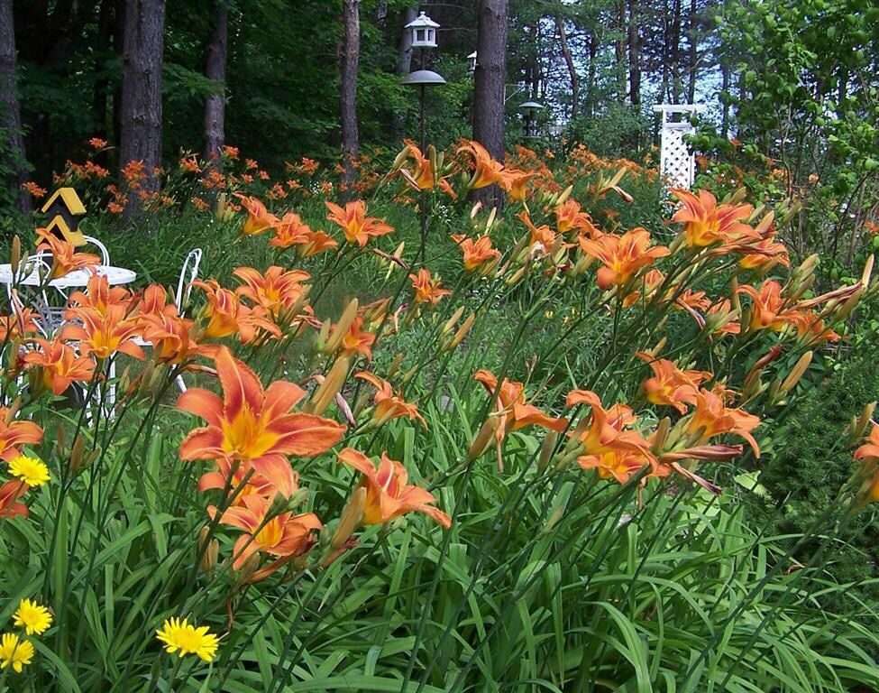 Tiger Lilies Or Ditch That Grow All Over America