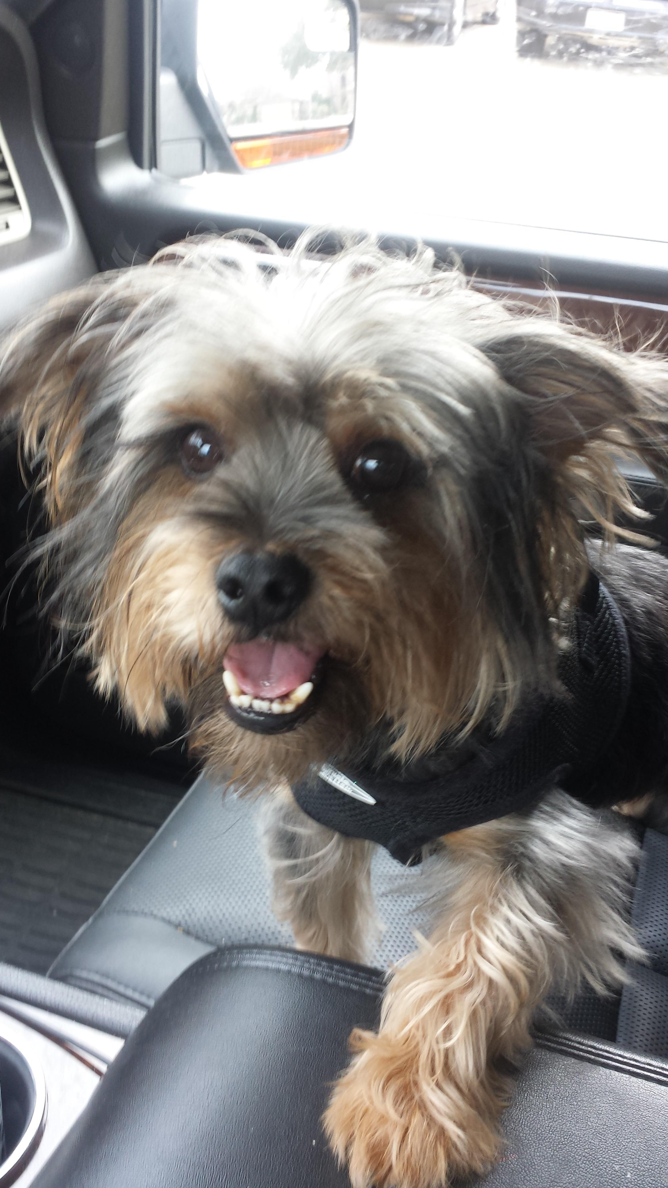 Angus Is An Adoptable Yorkshire Terrier Yorkie Searching For A Forever Family Near League City Tx Use Petfinder To F Yorkie Terrier Yorkshire Terrier Terrier