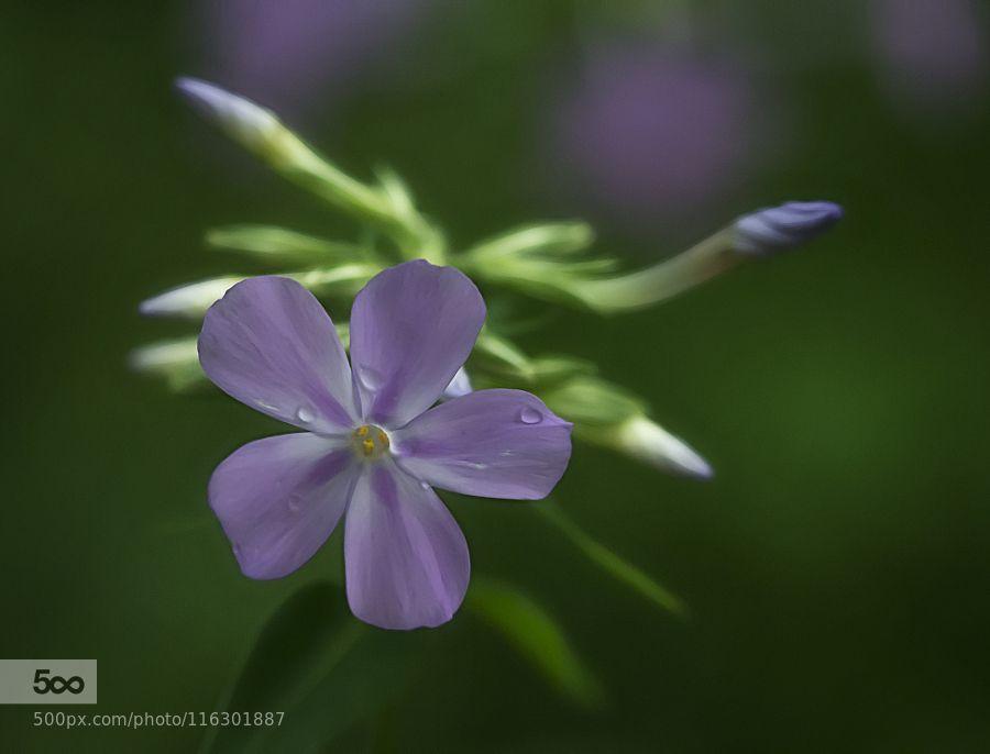 Smooth Phlox by sanddbanakas #nature