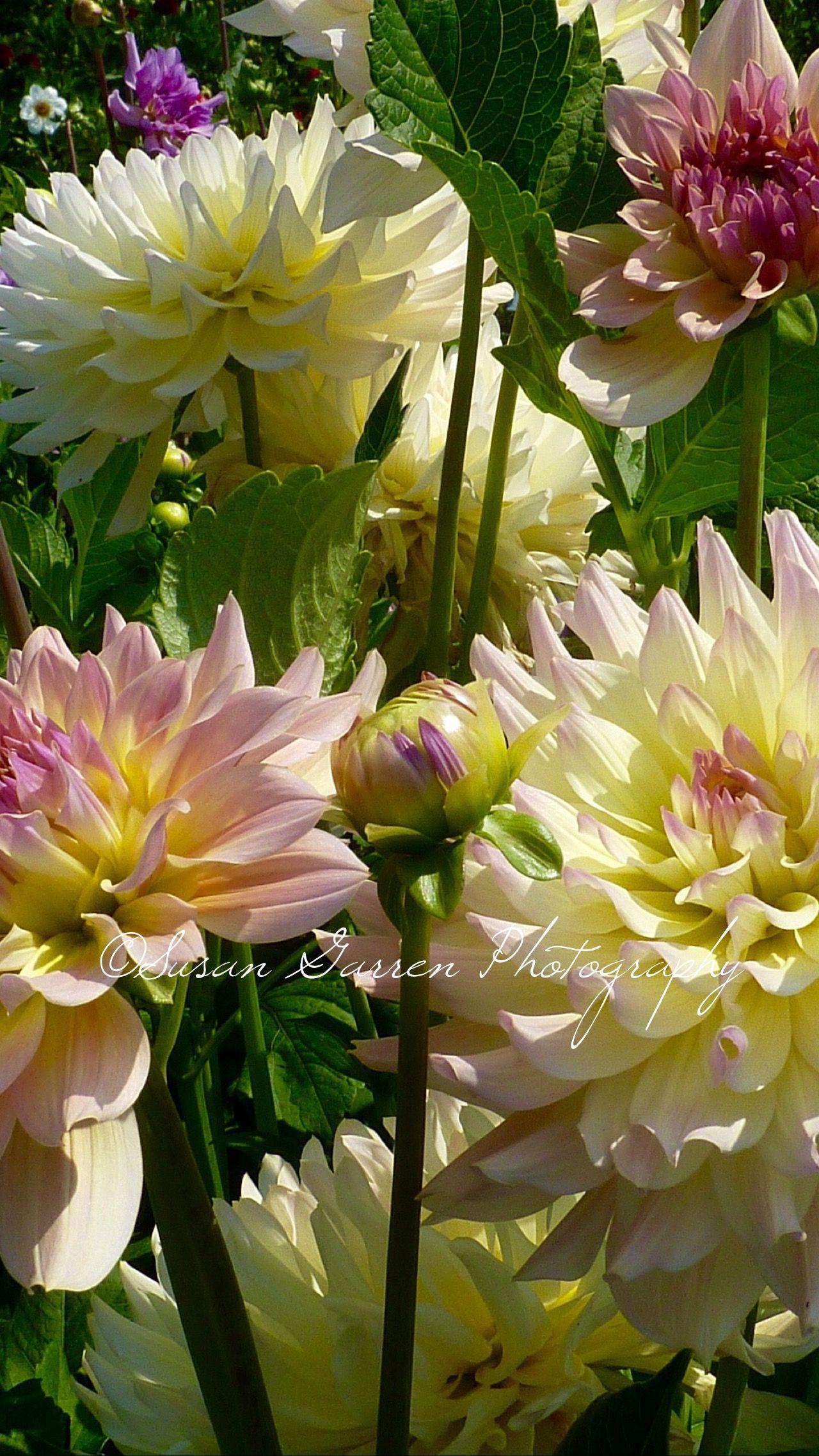 Susan Garren Pixels Dahlia Flowers