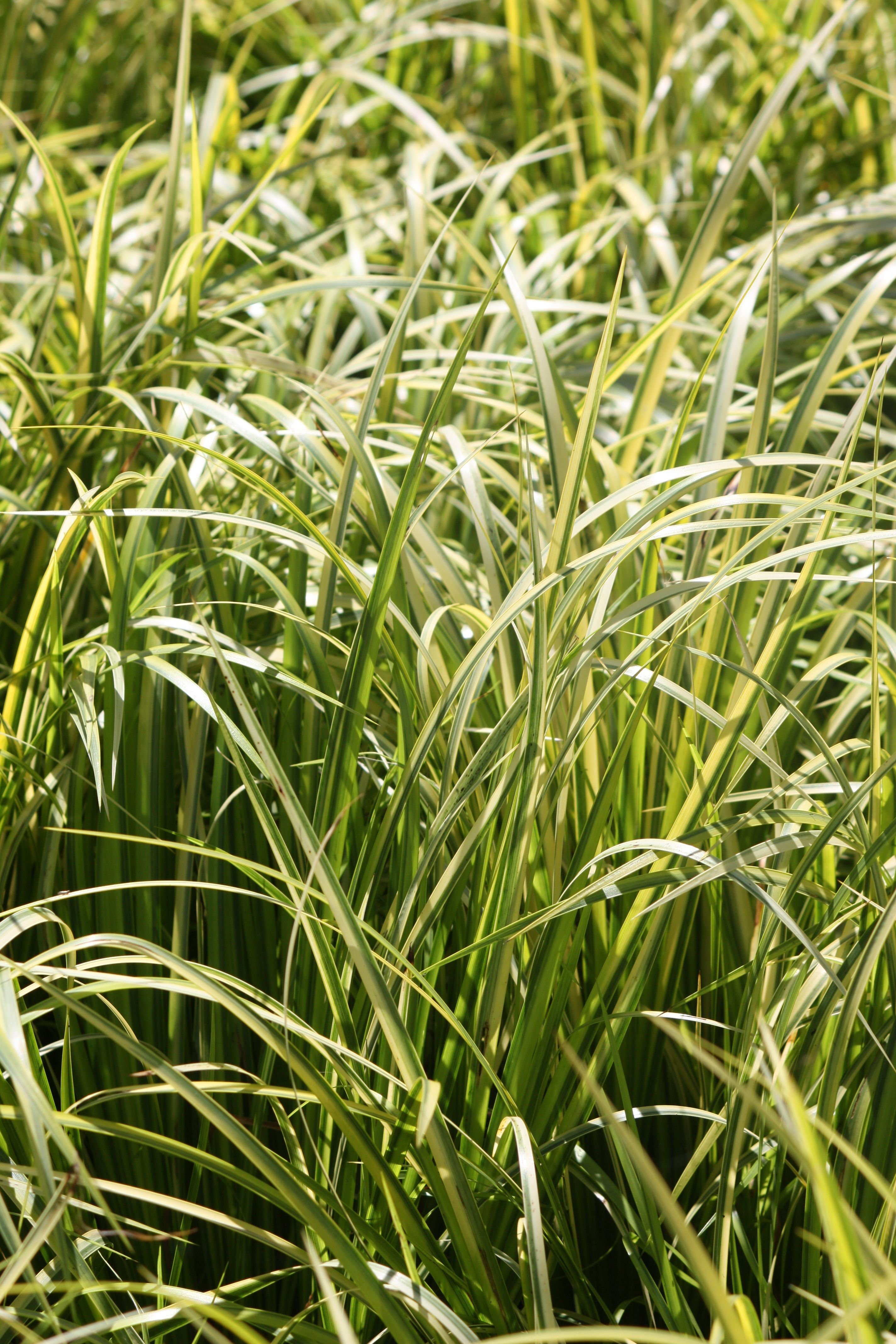 Acorus Gramenius Ogon Golden Variegated Sweet Flag Grass Acorus Grass Herbs