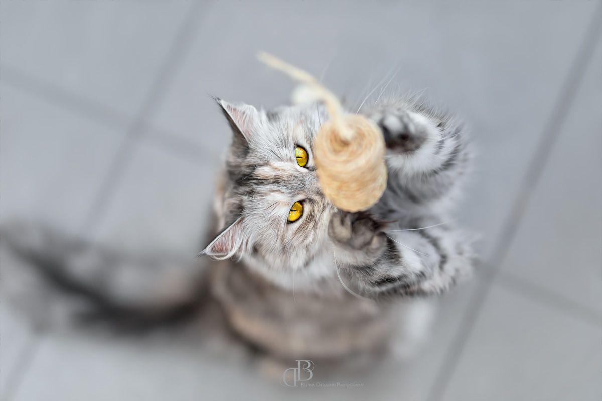 Best Friends Pixelartistin Sibirische Waldkatze Pets Haustiere Tierfotografie Animalphotography Katze Waldkatze Waldkatze Sibirische Waldkatze Katzen