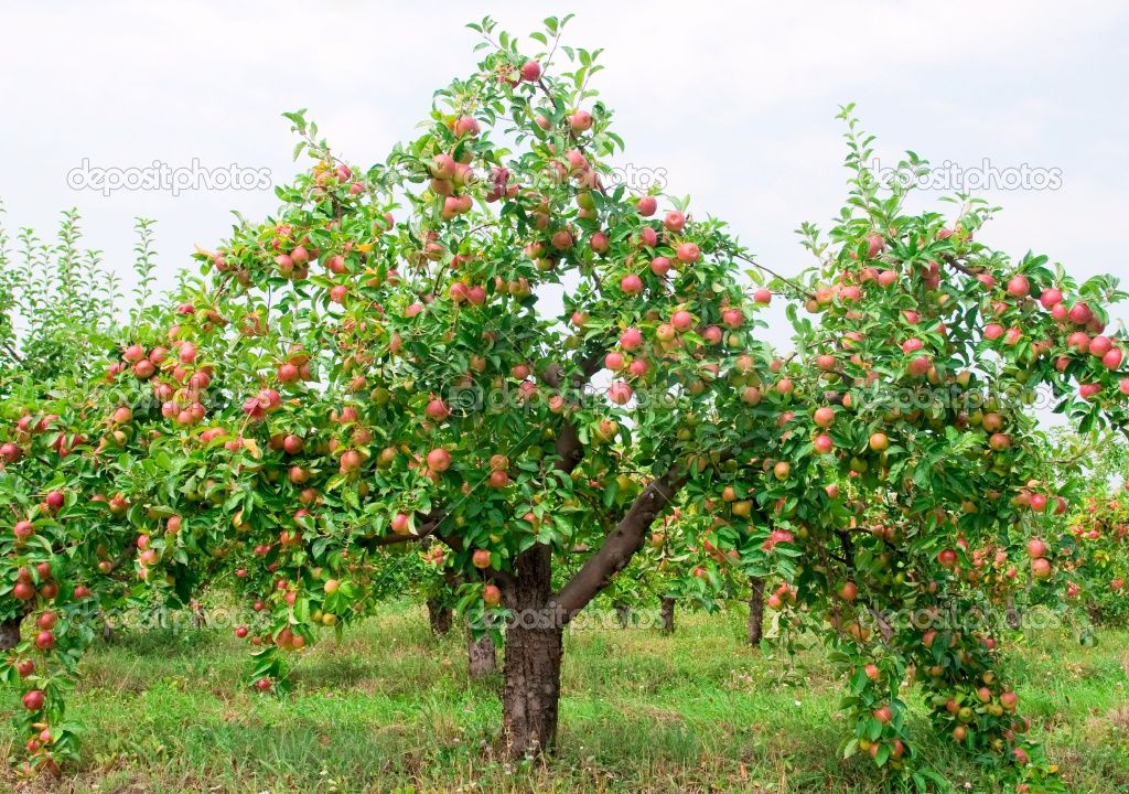 Depositphotos 3923282 red apples on apple tree - L arbre le pommier ...