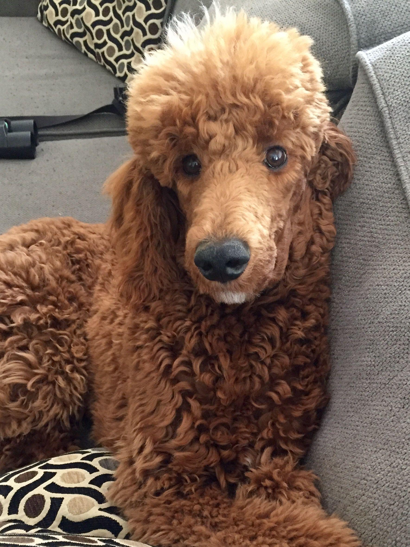 Dexter My Sweet Boy Red Standard Poodle Standard Poodle Dog