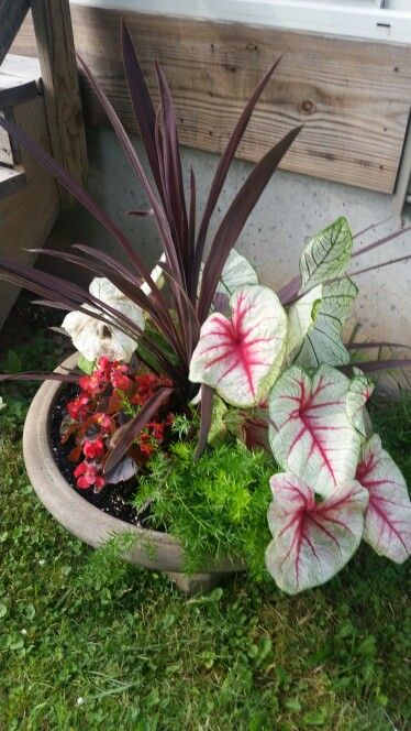 Red Cordyline Spike Caladium Begonia Asparagus Fern Container Gardening Asparagus Fern Container Gardening Caladium
