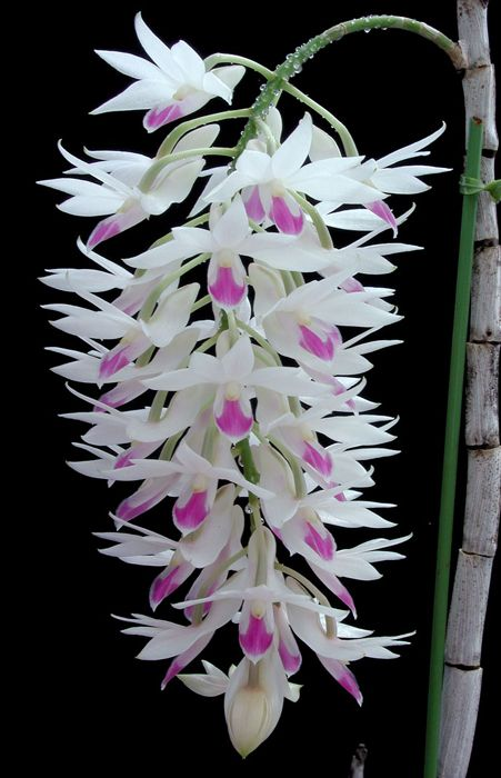 Dendrobium Culture Unusual Flowers Beautiful Orchids Orchid Flower