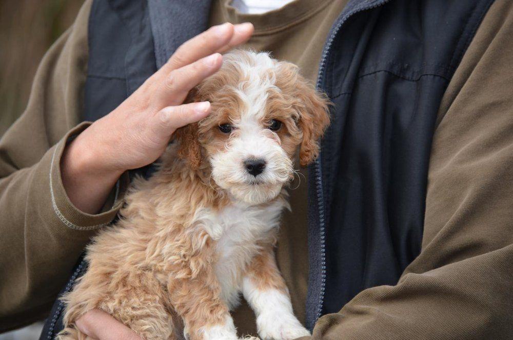 Best Goldendoodles Goldendoodle, Golden puppies