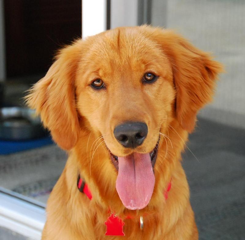 Adopt Kirby on Golden retriever, Retriever mix, Dogs