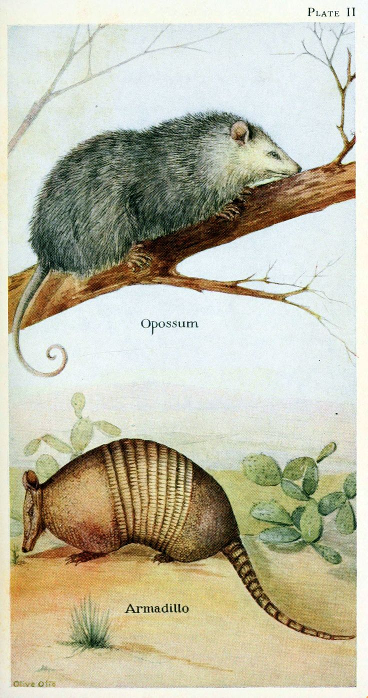 Opossum and armadillo. Field book of North American mammals New York,G. P. Putnam's Sons,1928.