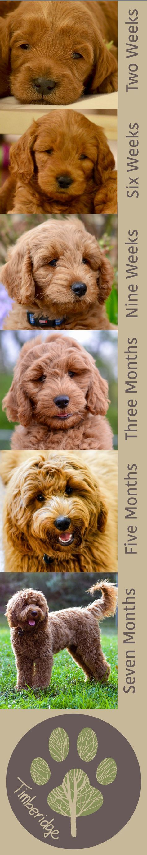Goldendoodle Puppy Time Lapse watch a puppy grow up!