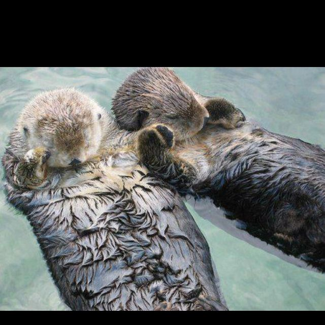 Sea otters hold hands while sleeping so they don't drift away from each other