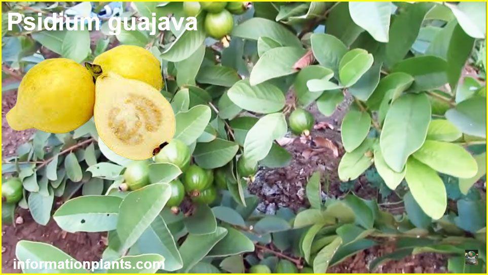 الجوافة فاكهة لها اهمية طبية كبيرة Psidium Guajava قسم الفواكه النبات معلومان عامه معلوماتية Fruit Food Olive