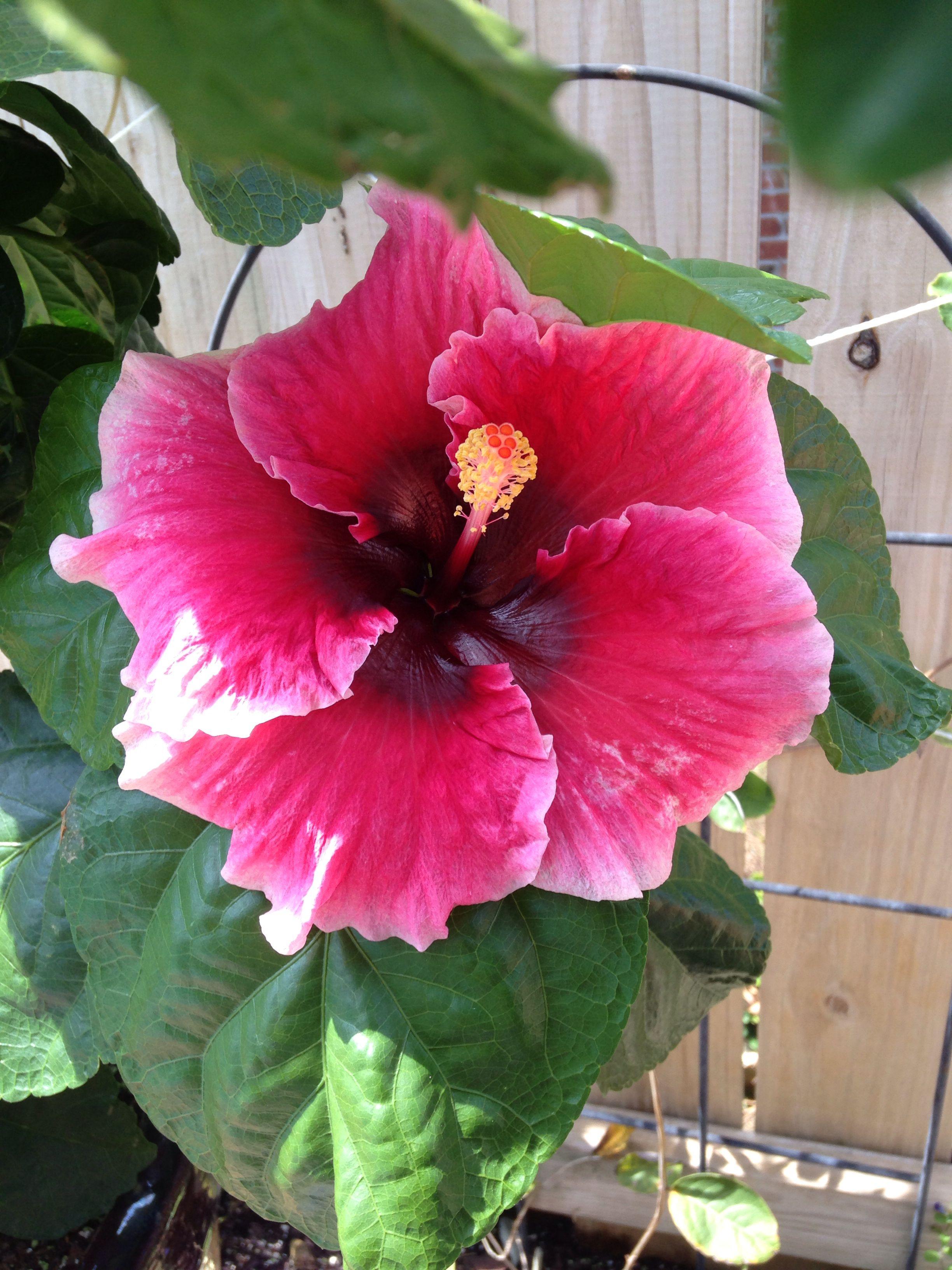 Sweet Cheeks Cajun Hibiscus Pinterest Hibiscus Flowers And