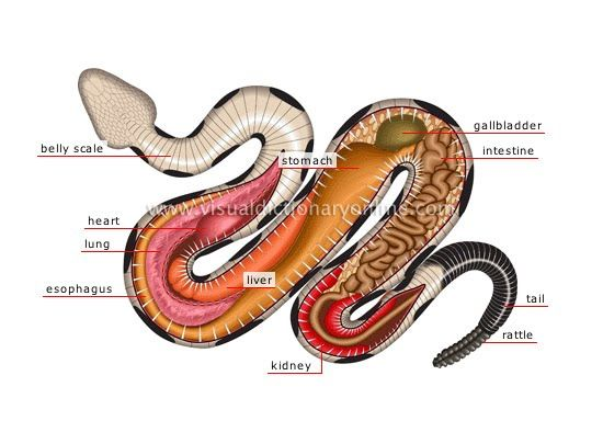 Diagram Structure Physiological Snakes - Find Wiring Diagram •
