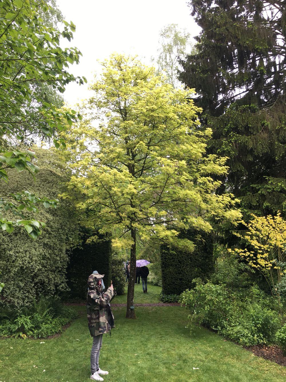 Acer Pseudoplatanus Prinz Handjery árboles