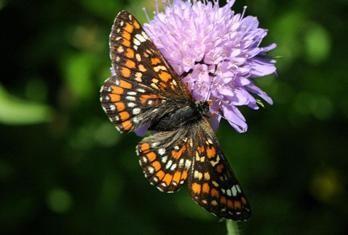 Eschen Schecken06 Schmetterling Falter Insekten