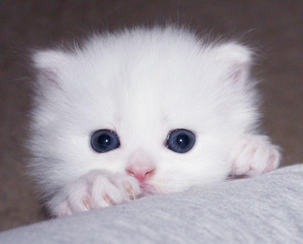 Teacup White Persian Cats Angora Cats Kittens Teacup Kitten